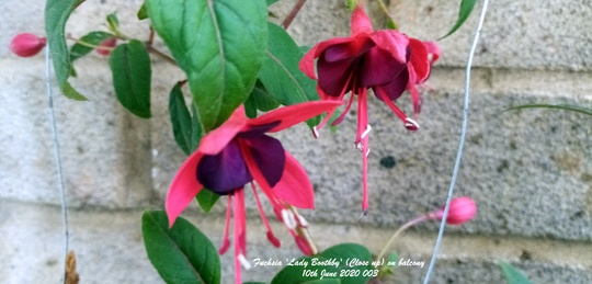 Fuchsia 'Lady Boothby' flowering on balcony wall (close up) 10th June 2020 002 (Fuchsia)