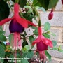 Fuchsia 'Beacon' flowering on balcony 10th June 2020 (Fuchsia)