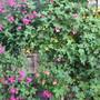 Salvias (Salvia greggi Peach Cobbler)