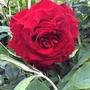 Climbing rose 'Crimson Shower'