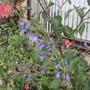 Salvia African Skies (Salvia uliginosa (Bog sage))