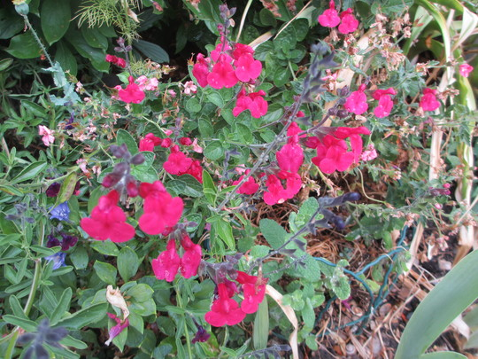 Salvia microphylla Neon (Salvia microphylla)