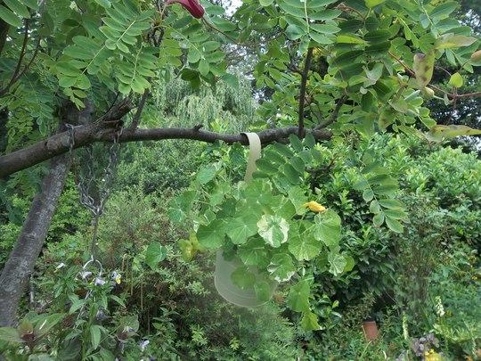 Nasturtium 'Alaska' hanging in the Sorbus.