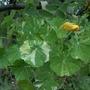 Nasturtium 'Alaska' 1st flower