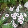 Dianthus 'Coconut Sundae'