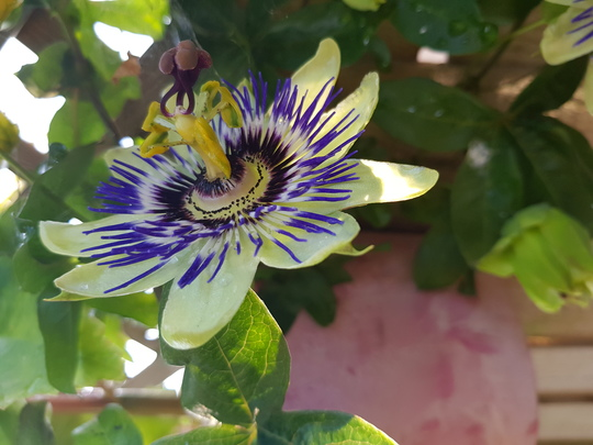 Passion flower...Silly Cow...
