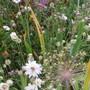 Catanache caerulea bicolor (Catanache caerulea)