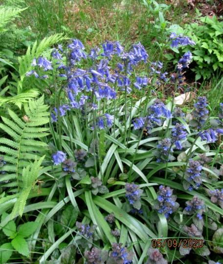 Bluebells, ajuga and ferns