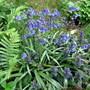 Bluebells, ajuga and ferns