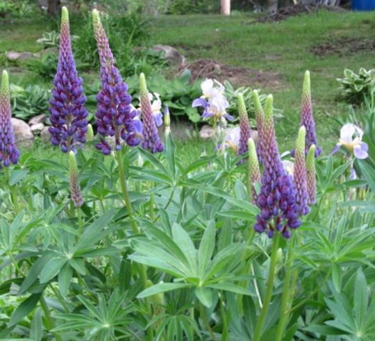 9717 lupins and irises