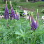 9717 lupins and irises