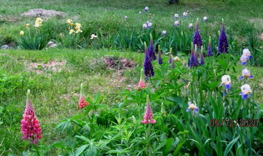 9720 Irises and field lupins
