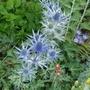 Eryngium x zabelii 'Big Blue' - 2020 (Eryngium x zabelii)