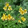 Alstroemeria_golden_delight_2020