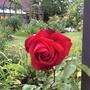 Rose 'Dame de Coeur'