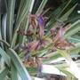 Iris  (Iris foetidissima variegata)