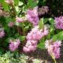 Deutzia x hybrida  Strawberry Fields