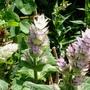 Salvia sciarea var . turkestanica