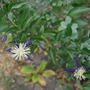 Clematis_x_aromatica_2020