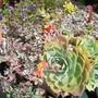 Echeveria in flower