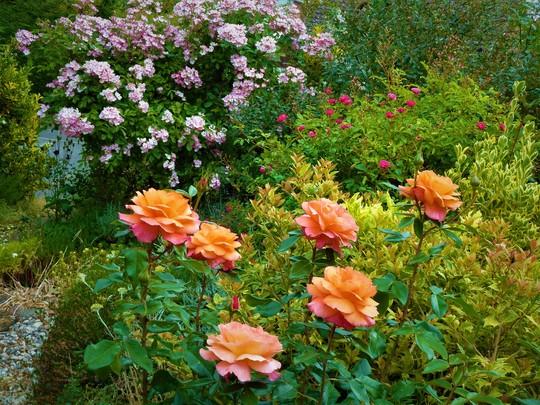 Front garden roses.  June 2020
