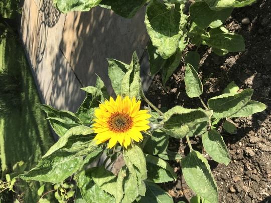 Bambino Sunflower