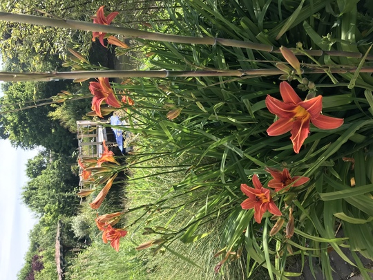 Day lilies and pond