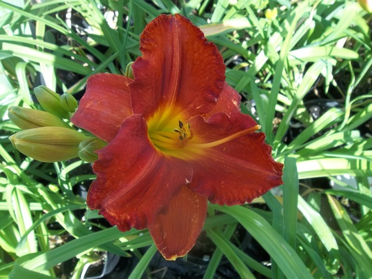 Day lily -red 16/6/20