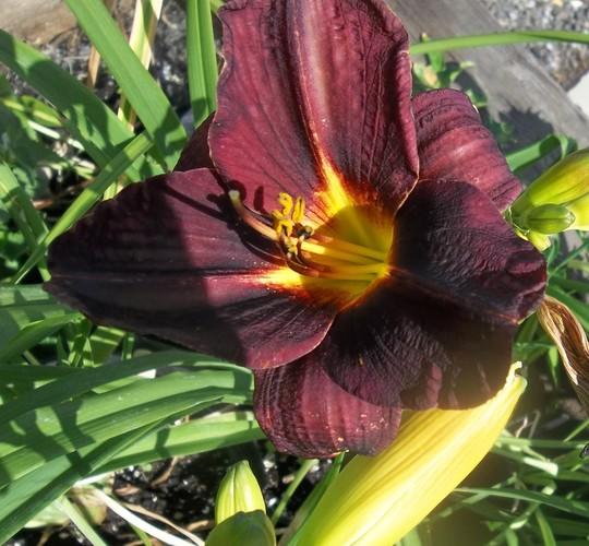 Day lily - dark red 16/6/20