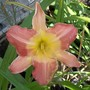 Day lily -peach/pink  16/6/20