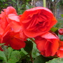 love the colour of this begonia