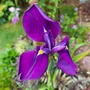 Iris ensata..