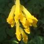 Corydalis Lutea (corydalis lutea)