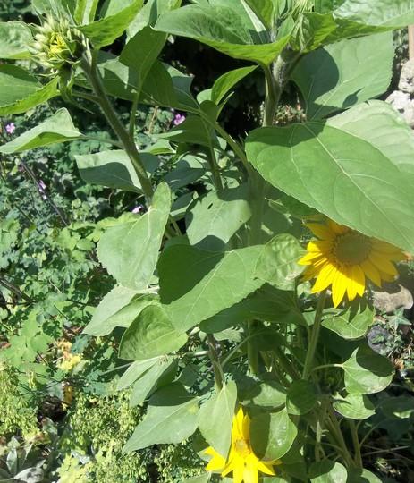 Barney sunflowers