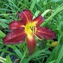 Day lily believed to be 'Spiderman'
