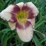 Daylily 'Steve Trimmer' ?