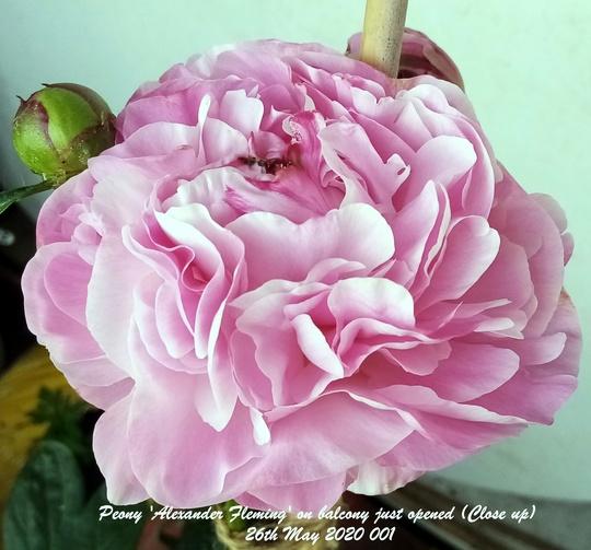 Peony Alexander 'Fleming' on balcony just opened (Close up) 26th May 2020 (Paeonia lactiflora (Peony))