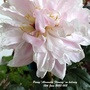 Peony_alexander_fleming_on_balcony_12th_june_2020_002