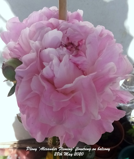 Peony 'Alexander Fleming' flowering on balcony 28th May 2020 001 (Paeonia lactiflora (Peony))