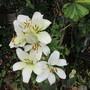 Lily in the white corner (Lilium)