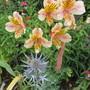 Eryngium and Alstroemeria  (Eryngium)