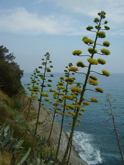 agave in flower