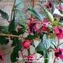 Fuchsia_lady_boothby_flowering_on_balcony_wall_10th_june_2020_001