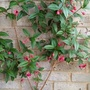 Fuchsia 'Lady Boothby' on balcony wall 22nd June 2020