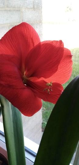 Amaryllis (Red) in kitchen window 22nd June 2020 002 (Amaryllis Hippeastrum)