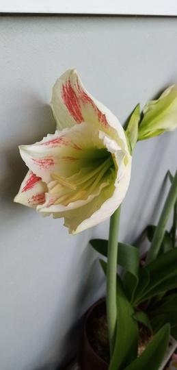 Amaryllis (White with red veining) on balcony 20th June 2020 001 (Amaryllis)