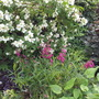 Philadelphus Belle Etoile and Penstemon Garnet