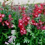 Penstemons King George