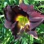 Dark daylily