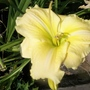 Lemon yellow daylily 24.6.20